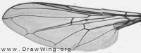 Melangyna umbelatarum, wing