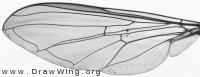 Meliscaeva auricolis, wing