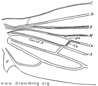 Mnemonica, base of fore wing