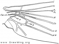 Mnemonica, base of hind wing