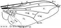 Musca domestica, wing