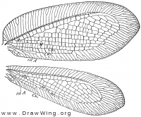 Myiodactylus pubescens, wings