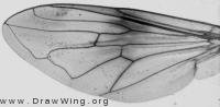 Myolepta dubia, wing