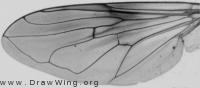 Myolepta nigra, wing