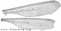 Neuroptynx appendiculatus, wings