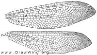 Nymphes myrmeleonides, wings