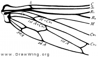 Panorpa, base of hind wing