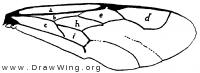Parevania schlettereri, fore wing
