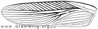 Phyllodroma germanica, forewing