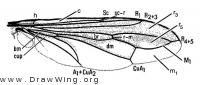 Labelled Wing Venation Diagram for Physocephala texana