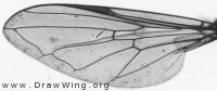 Pipiza bimaculata, wing