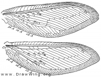 Polystoechotes punctatus, wings