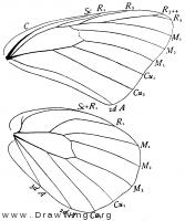 Pontia protodice, wings