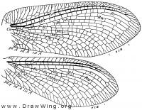Rapisma viridipennis, wings