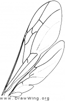 Rhopalosomatidae, wings