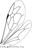 Sapyginae, wings
