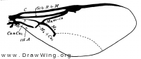 Semaeodogaster barticensis, fore wing