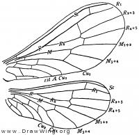 Semidalis aleyrodiformis, wings