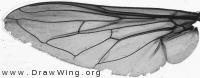 Sericomyia silentis, wing