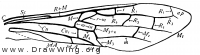 Sirex, fore wing