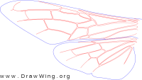 Siricidae, wings