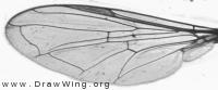 Sphaerophoria rueppeli, wing