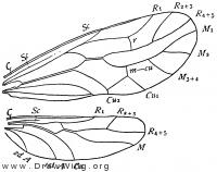 Stenopsocus, wing