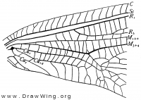 Lachlathetes contrarius, base of fore wing