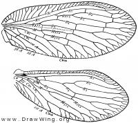 Sympherobius amiculus, wings