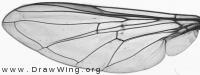 Syrphus vitripennis, wing