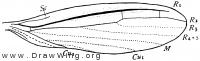Teratembia geniculata, wing