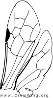 Thynninae, wings