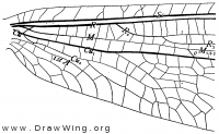 Tomatares clavicornis, base of fore wing