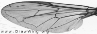 Xylota segnis, wing