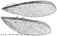 Zootermopsis angusticollis, wings