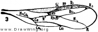 Zorotypus snyderi, fore wing