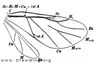 Schizoneura americana, wings