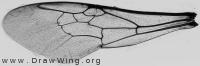 Bombus lapidarius, forewing
