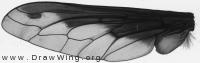 Bombylius major, wing