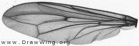 Conopidae, wing