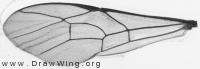 Latibulus argiolus, forewing