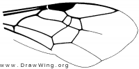 Megaloptilla callopis, wing