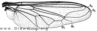Lasia purpurata, wing