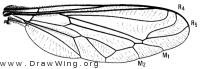 Eulonchus halli, wing
