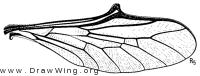 Turbopsebius sulphuripes, wing