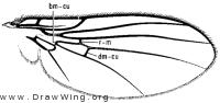 Paraphytomyza nitida, wing