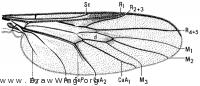Olbiogaster sackeni, wing