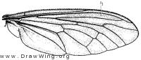 Orthogonis stygia, wing