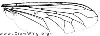 Cerotainiops, wing
