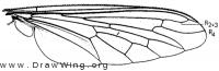 Andrenosoma (Pogonosoma) ridingsi, wing